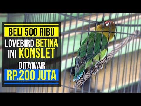 BELI 500RIBU , BETINA INI KONSLET DITAWAR 200JT