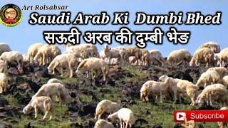 Dumbi bhed saudi Arab दुम्बी भेङ सऊदी अरब