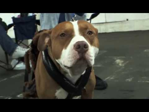 Pit Bulls Documentary Part1