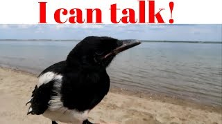 Our Pet Magpie Talks
