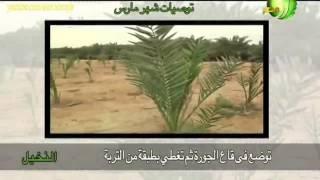 التوصيات الفنية الزراعية لزراعة النخيل خلال شهر مارس فى مصر