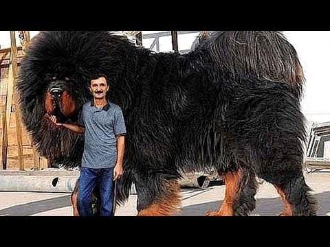 10 Abnormal Große Hunde Die es wirklich gibt