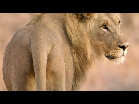 Five Young Lion Brothers Mate with One Lioness