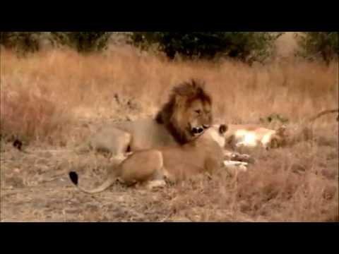MASAI MARA LIONS MATING & MALE SHUNS 2ND FEMALE