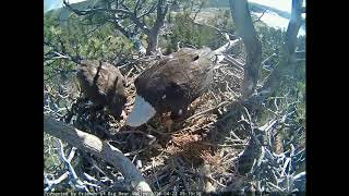 04-22-18 Big Bear Lake eagles; Mom feeds Stormy a meal.