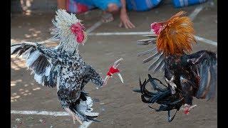 Le combat de coq le plus spéctaculaire !
