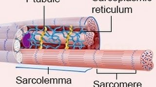 A Brilliant Explanation of the Process of Cardiac Muscle Contraction
