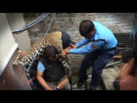 Xxx Mp4 काठमाडौमा चितुवा आंतक A Leopard Enters A Home In Kathmandu Kuleshower 3gp Sex