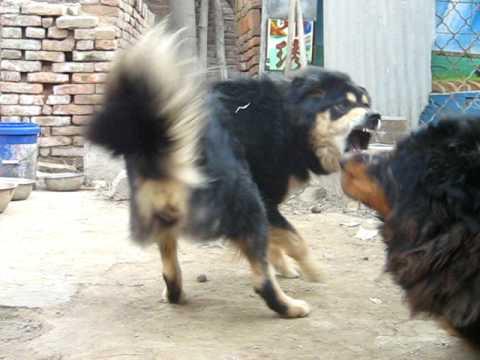 Tibetan Mastiff videos