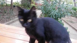 Komik kedi videoları  / Masada oynamaya bayılan siyah minik kediler