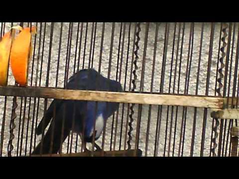 Mi cardenal azul mudo