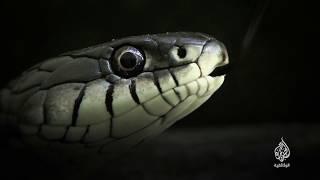 الثعابين (برومو) 20 أبريل - 20 مكة المكرمة