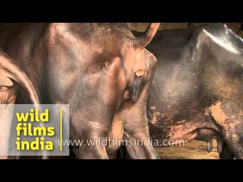 Indian buffalo empties its bowels