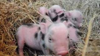 Precious cute Wee Pig- piglets are adorable little funny baby animals. Mini pigs farm.