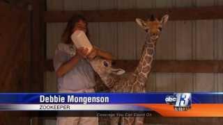 Rare, Twin Giraffe