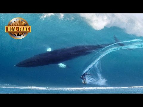 HUGE WHALE JOINS SURFER ON BIG WAVE - real or fake?