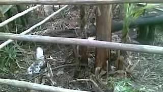 banana tree crying in jagiroad