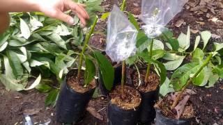 Avocado grafting slow motion