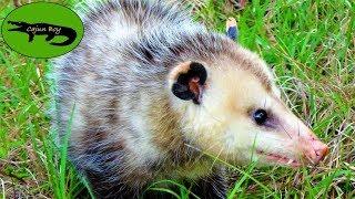 Opossum Rescue!