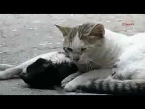 Stray Cat gives a cardiac massage/CPR/horny? to his injured Friend (comments alowd)(diffrent angels)