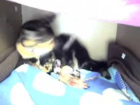 accouchement de mon chat