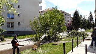 Zbog alergenog peluda posjekli breze