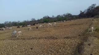 Arafan con i pastori barka pulagu
