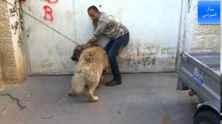 الكلب لوكو الاشرس بالعالم هاجمني السبب جرح في رقبته مع جمال العمواسي