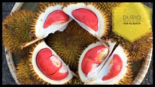 Mengenal Lebih Dekat Durian Merah/Trako/Tuala (Durio Graveolens) Asli Pedalaman Kalimantan