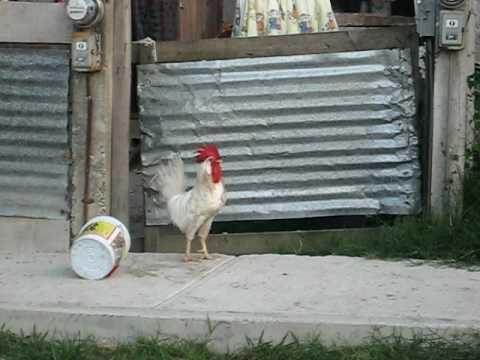 El gallo ataca Rooster Atack