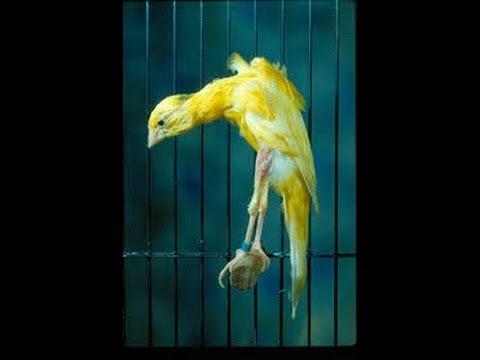 أنواع الكناري les races de canaris