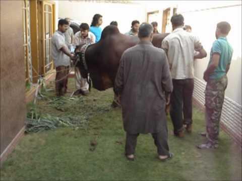 Dabang Cow 2011 Qurbani