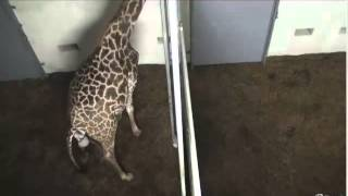 10-22-12 Autumn Labors (Giraffe at The Greenville Zoo - SC)