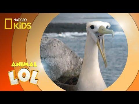 Albatross Brother Battle Animal LOL