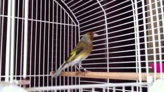 Goldfinch Mule Singing Download Mp3 Mp4 3GP HD Video