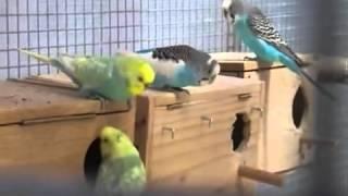 تزاوج طيورالبيريش  في سلاكة طيور جماعية Tazawach toyor el birich