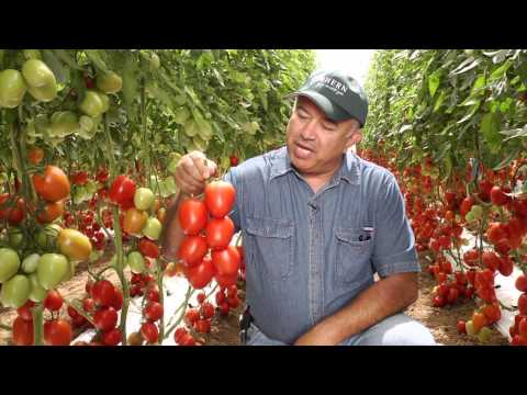 Tomates - Falcon - BHN