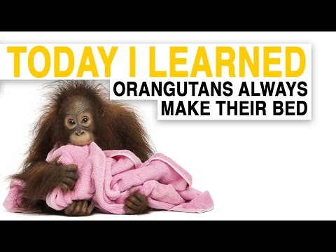 watch TIL: Orangutans Build Comfy Nests to Sleep in | Today I Learned