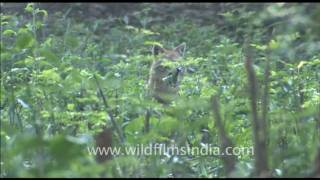 High Bank in Corbett Park, with a jackal