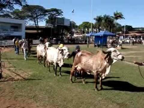 Gir Leiteiro Megaleite 2010 Desfile vacas Gir Leiteiro