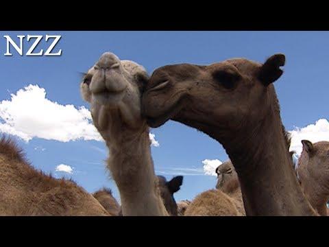 Kamele: phänomenale Nutztiere - Dokumentation von NZZ Format (2005)