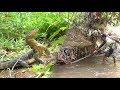 Download Video Download Berburu Biawak dan Menemukan Banyak Ular Sanca 3GP MP4 FLV