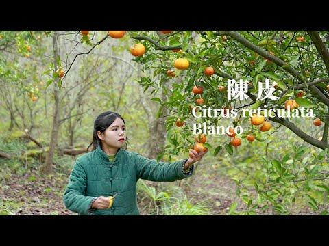 Orange harvest I put it into tangerine peels so that three years will not be bad陳皮 ▎Lizhangliu