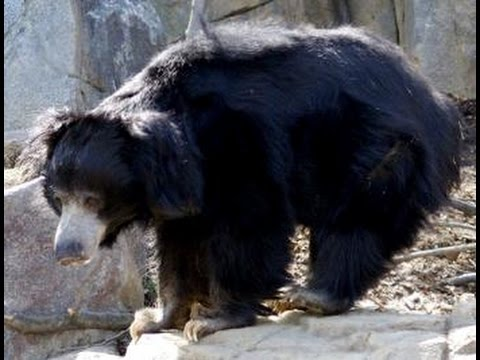 Sloth bear in mount abu road block 21 12 2015