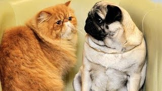 Funny and Cutest Cats Annoying Dogs Compilation, Try Not To Laugh Dogs and Cats Videos, Animals TV
