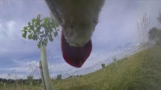 Dog+TV+%7C+Dog+Entertainment+%7C+Dog+Relaxation+%7C+Dog+Music+%7C+Husky+Dog+Zarro+Films+Free+Ranging