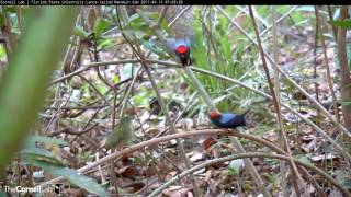 Two Males Display for a Female, Lance-tailed Manakin Cam, April 14, 2017
