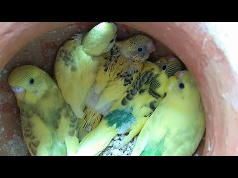 Xxx Mp4 Budgegar Love Birds Cocatil Best Cage Progress In BD By Bikrampur Birds House 3gp Sex