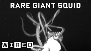 Scientist Explains How She Captured Rare Giant Squid Footage | WIRED