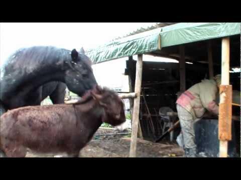 Sistemare la tettoia asino e cavallo non sono un grande aiuto